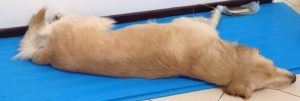 magnetoterapia para perros